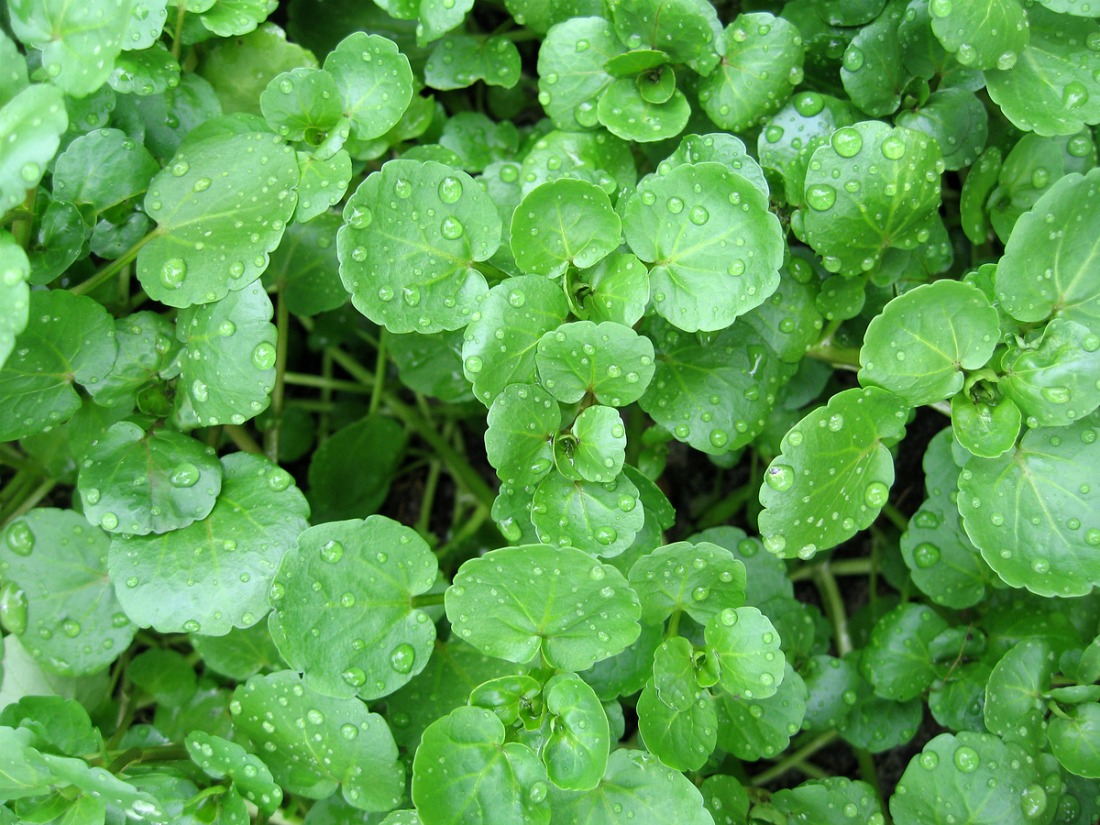 health-benefits-of-watercress